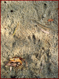 BIRD-LIKE TRACK OF THE BEAVER