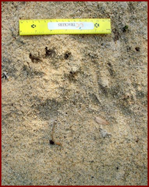 A SET OF BEAVER TRACKS