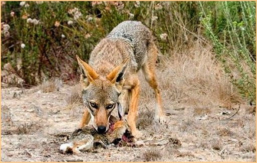 Coyote Eating Cat | www.imgkid.com - The Image Kid Has It!