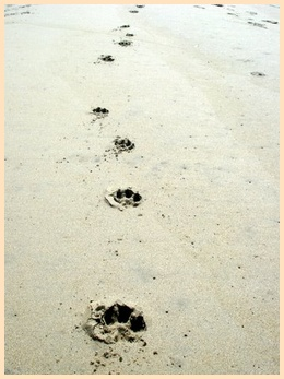 Animal Tracks - Raccoon (Procyon lotor)